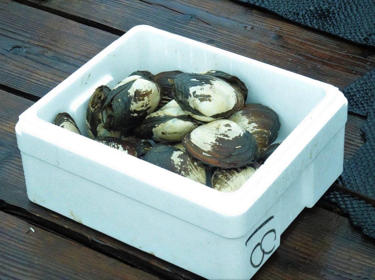 【期間限定】本ミル貝の通販開始